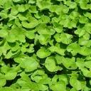 Zelený zázrak, který si poradí i s celulitidou - Gotu Kola