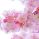 Jarní dovolená v Japonsku - ideální místo pro milovníky růžové barvy a rozkvetlých třešní
