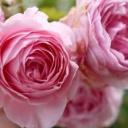 Jak pečovat o růže?