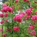 Jak ochránit růže před zimou?