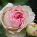 Jaké jsou oblíbené odrůdy růží?