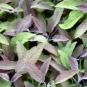 Jak dosáhnout nejlepšího efektu s purpurovou barvou na zahradě?