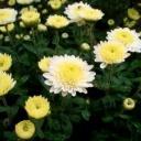 Proč pěstovat chryzantémy?
