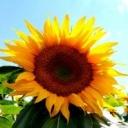 Jak pěstovat slunečnici?