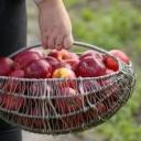 Kdy je správny čas sklidit ovoce?