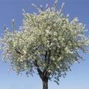 Jak tvarujeme třešně a višně?