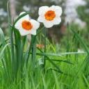 Jak vysadit narcisy do trávníku?