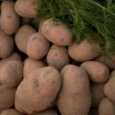 Jak pěstovat brambory v sudu?