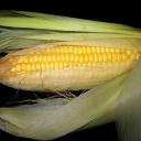 Kukuřice - zlato z našich polí