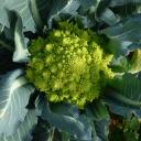 Brokolicový olej pomáhá proti stárnutí kůže, třepení vlasů a snižuje výskyt akné