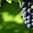 Hroznové víno oddálí stárnutí pleti, ale také omladí celé tělo