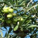 Olivový olej - zelené zlato, které pečuje o naše tělo