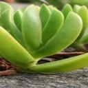 Aloe vera - zevní a vnitřní použití této