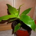 Domácí ženšen mezi pokojovými rostlinami aneb Co jste možná o kalísii nevěděli