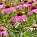 Echinacea zvyšuje imunitu a je dobrým bojovníkem i proti rakovině