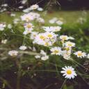 Heřmánek je užitečná léčivá bylinka, ale může také škodit