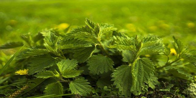 kopřiva, bylinky, detox, diabetes