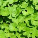 Pupečník asijský - bylinka na dobrou náladu, zdravé cévy a klidný spánek
