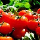 Rajčata jsou dietní, skvěle chutnají a chrání naše tělo před mnoha chorobami