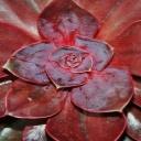 Skalní růže, která má léčivé účinky - Netřesk střešní