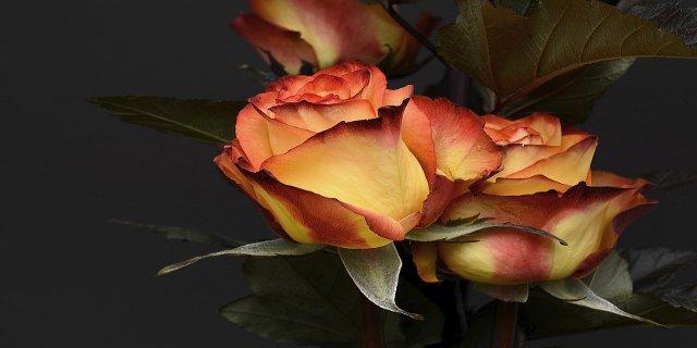 růže, květiny, interiér