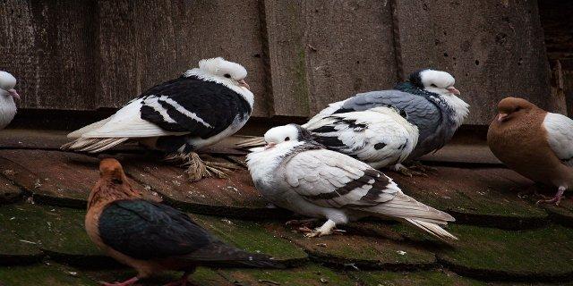 bydlení, holubi, nemoci