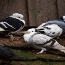 Vybrali si holubi ke svým zastávkám váš parapet? Zbavte se jich!