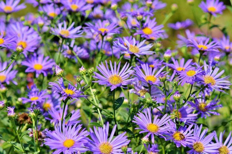astra, květiny, balkony, skalky, květiny dovázy
