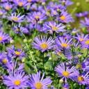 Astra - květina, která dělá podzim krásnější