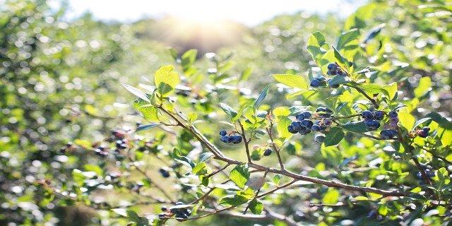 muchovník, indiánská borůvka, zdraví, antioxidanty, borůvky