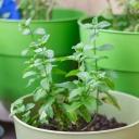 Bylinky, které jsou vhodné k pěstování na okenním parapetu