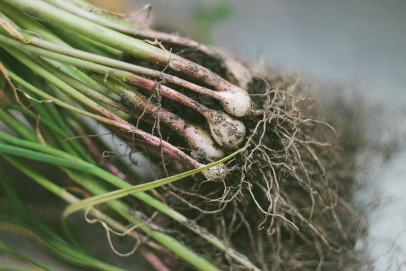 česnek, zdraví, sklizeň, zahrada