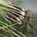 Česnek je důležité včas sklidit, protože přezrálý má kratší skladovací dobu
