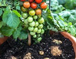brambory, rajčata, potatom, pěstování zeleniny