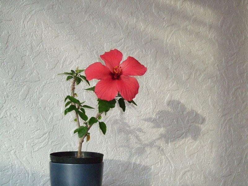 ibišek, pokojové rostliny, kvetoucí rostliny