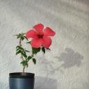 Ibišek čínský - nenáročná kvetoucí dekorace do bytu