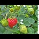 Jahody - ovoce i lék - video