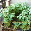 Jak jsem pěstovala rajský na balkóně - video