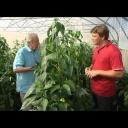 Jak pěstovat papriky - video