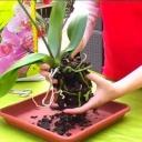Jak přesazovat orchidee - video