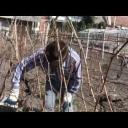 Jak správně ostříhat vinohrad - video