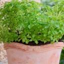Jak správně pěstovat bylinky v bytě? Na ty ze supermarketů zapomeňte!