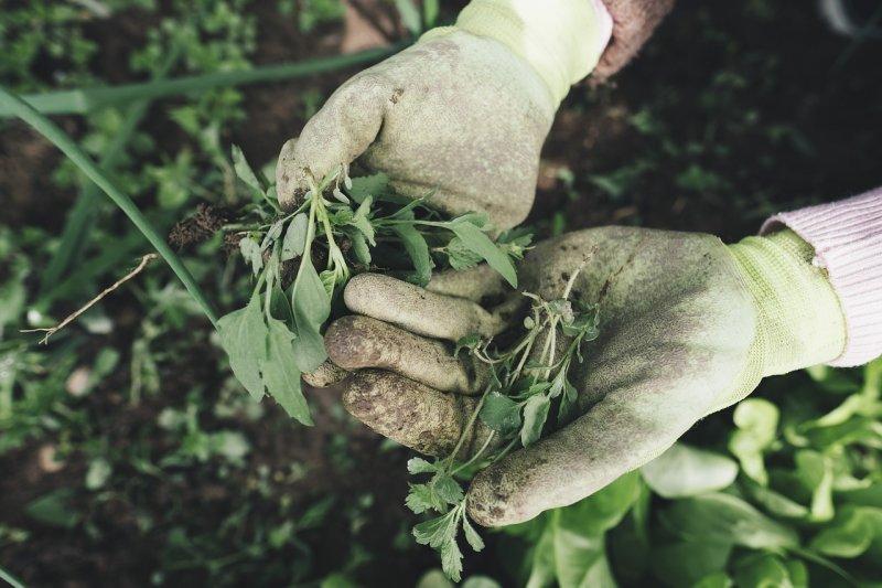 zahrada, plevel, zahrádkáři, úroda, práce nazahradě