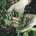 Jak zničit ekologicky na zahrádce plevel? Okopávejte, okapávejte a okopávejte!