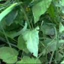 Jedlé divoké rostliny. - video