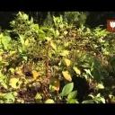 Jedovaté rostliny - video
