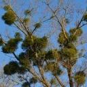 Jmelí podle pověry přináší štěstí, ale také úhyn stromů, na kterých cizopasí