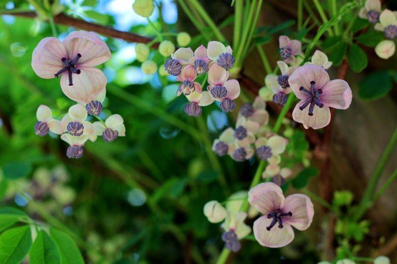 akébie, zahrada, zeleň arostliny, pergola, popínavé rosltiny, léčivé rostliny