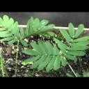 Mimóza a šťovík jsou pěkné citlivky - video