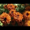 O pěstování nových druhů letniček - video